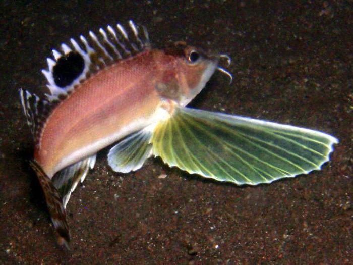 тригла морской петух