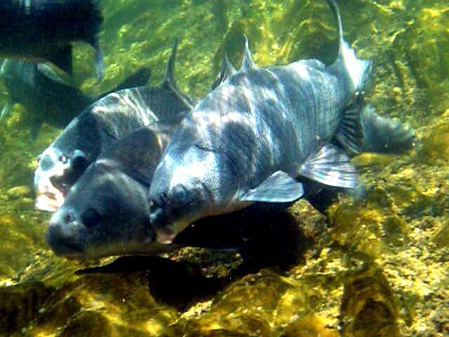 рыба толстолобик в мультиварке рецепты с фото