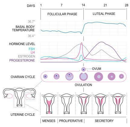 В какой период цикла