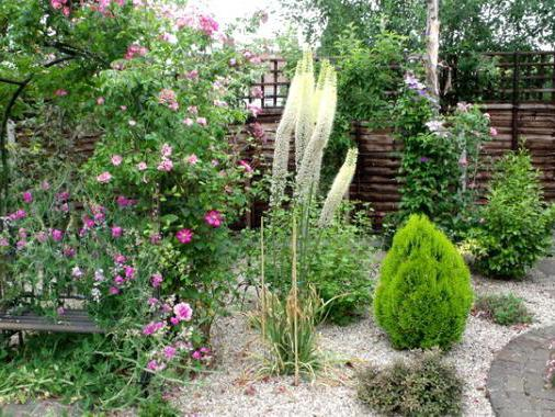 Eremurus outdoor planting and care