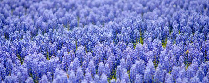 Muscari landing and care