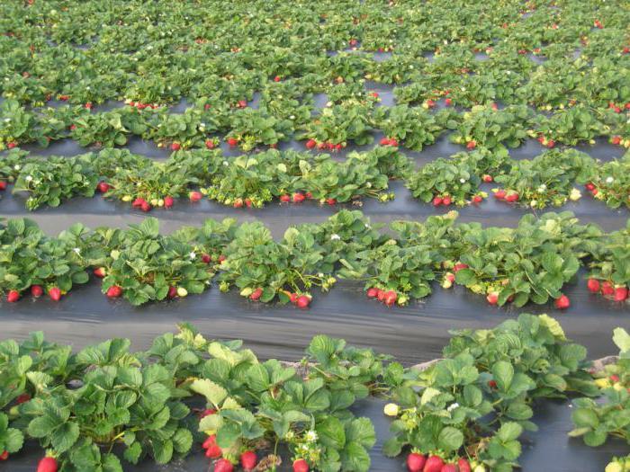 wild strawberry useful properties