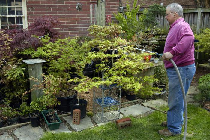 japanese maple planting and care