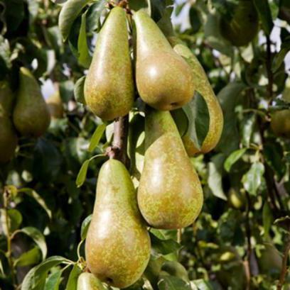 columnar pear seedlings