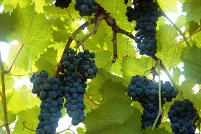 Uncovered grapes for the Moscow region
