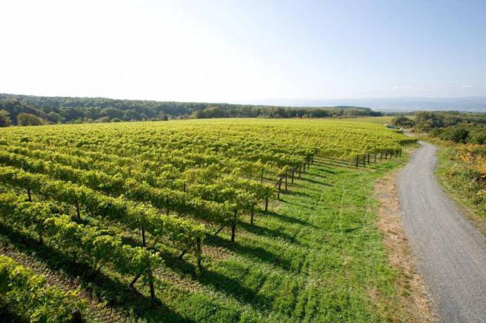 uncovered grape varieties in the Moscow region