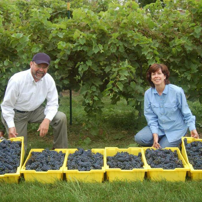winter-hardy grapes for the suburbs uncovered