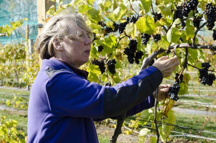 grapes for the suburbs varieties neukryvnoy