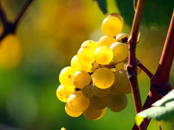 grape varieties for the Moscow region