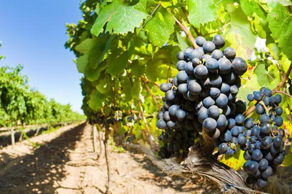 uncovered grape varieties for the Moscow region