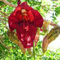 Sausage tree flower