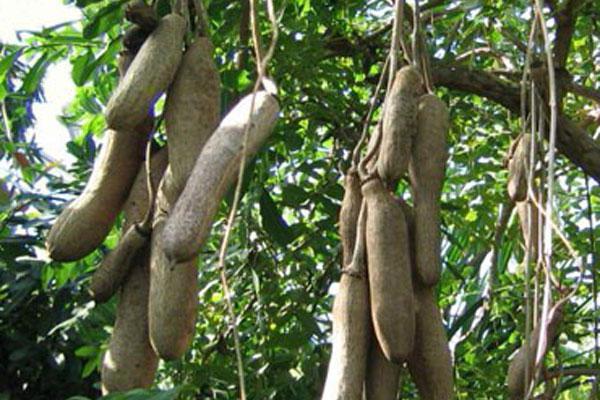 Kegelia sausage tree