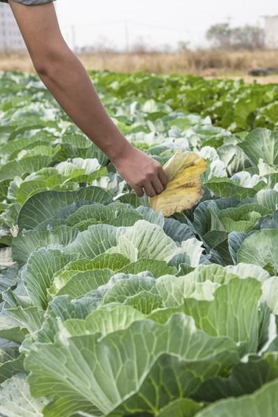 how to deal with cabbage pests folk remedies