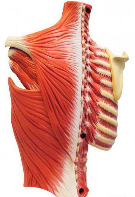 мышечная невралгия грудной клетки