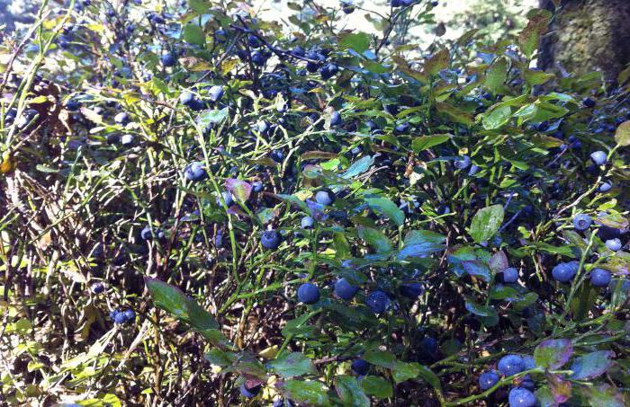 кустарник с крупными листьями фото и названия