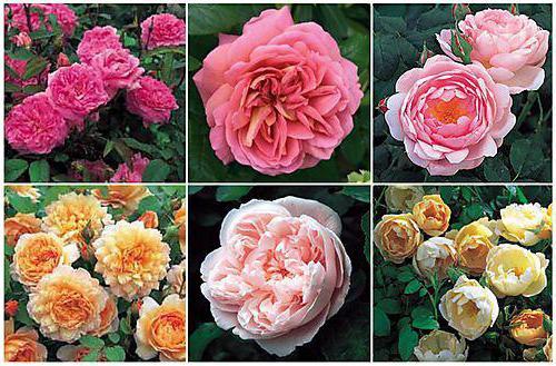 розы остин