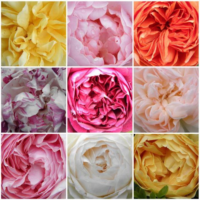 розы остина отзывы