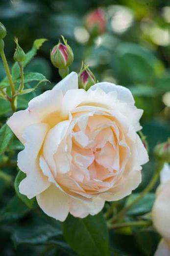 описание сортов роз