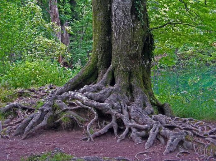 доставку, спроектируем, деревья с корнями фото индивидуального