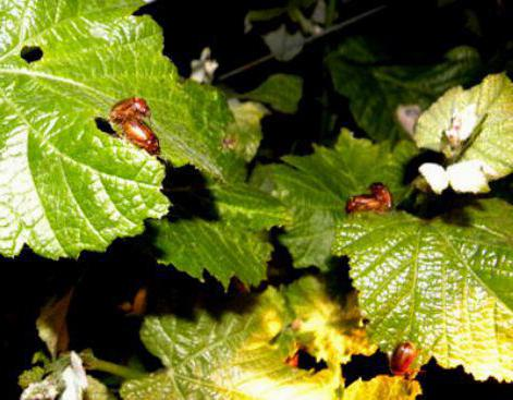 grape diseases and their treatment