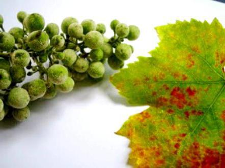 diseases and pests of grapes