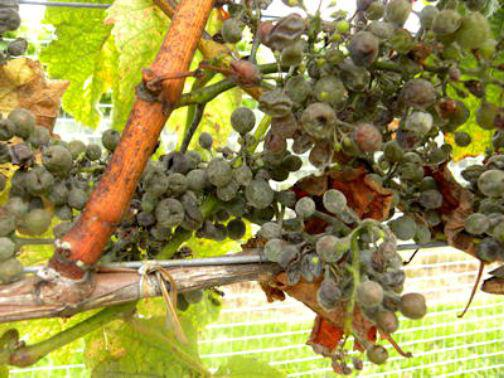 grape diseases and control
