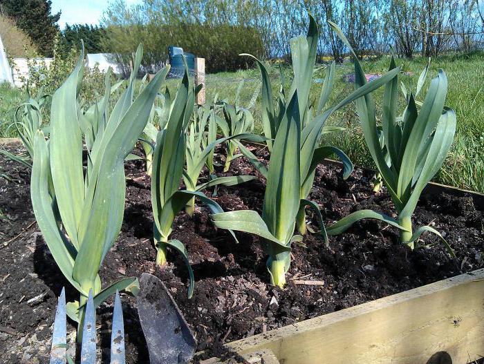 Как сажать лук слизун 36