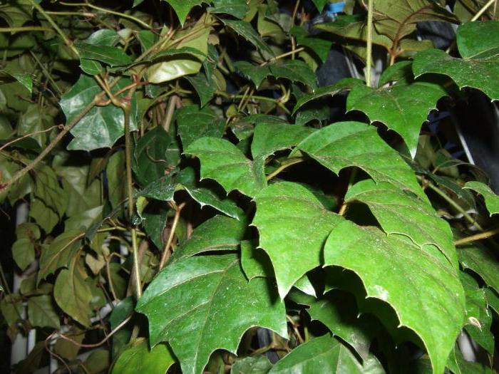 березка комнатное растение