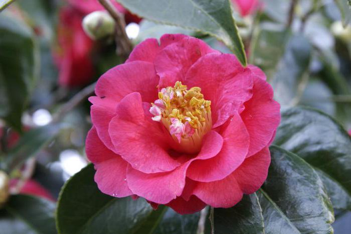 camellia japanese