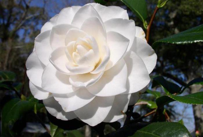 camellia japanese care