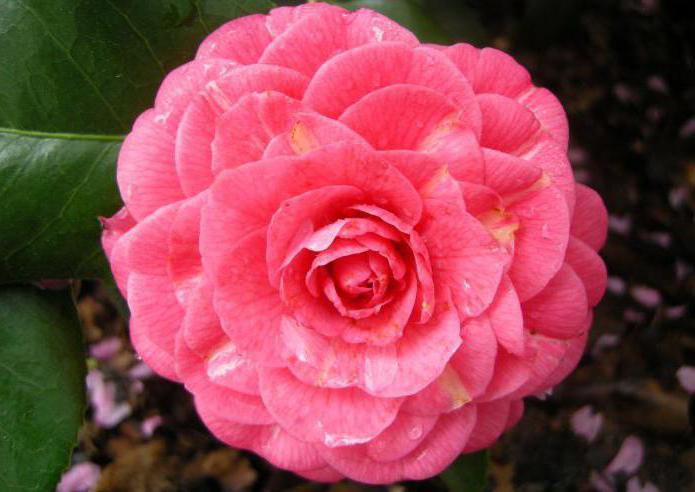 Camellia Japanese home care