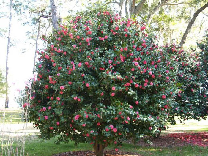 camellia japanese planting and care