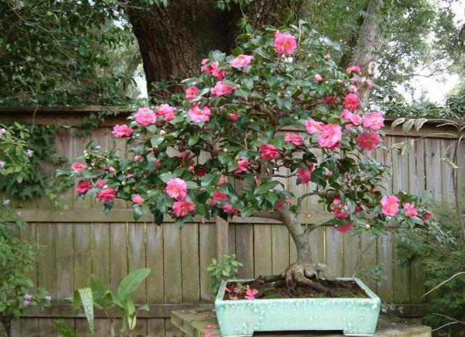 varieties of japanese camellia