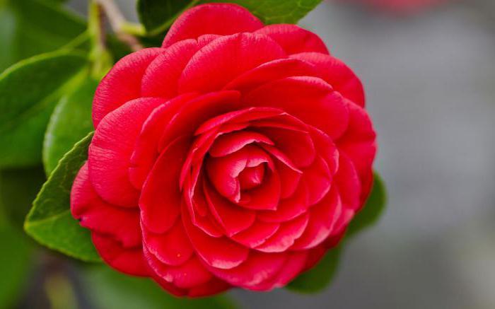 camellia japanese photo
