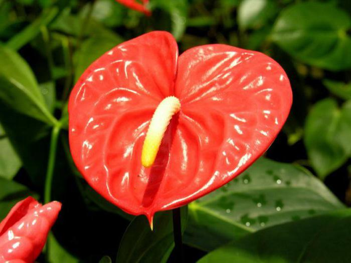 Цветок с длинными листья и красным цветком