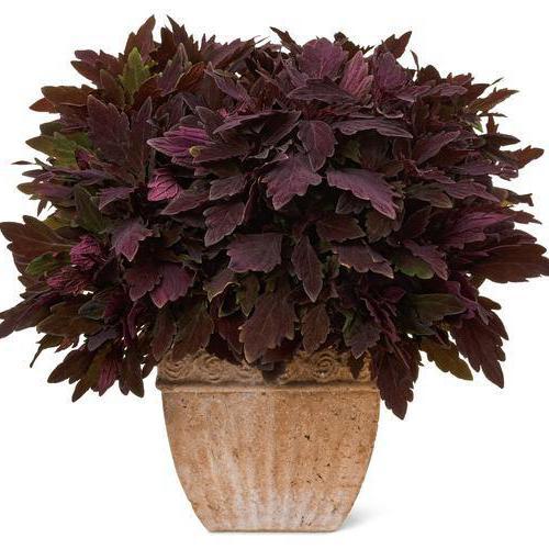 Комнатный цветок с листьями круглыми