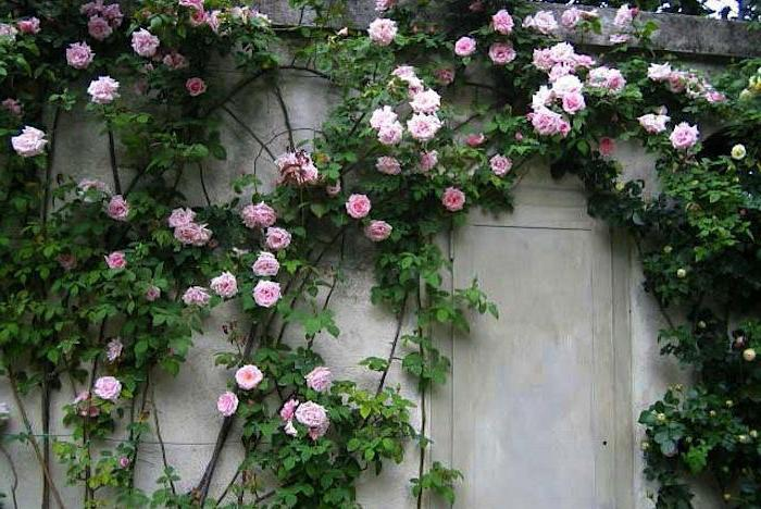why does not a climbing rose bloom