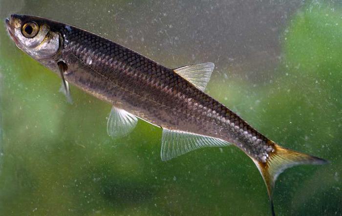 совсем неважно рыба уклейка фото фишка заведения