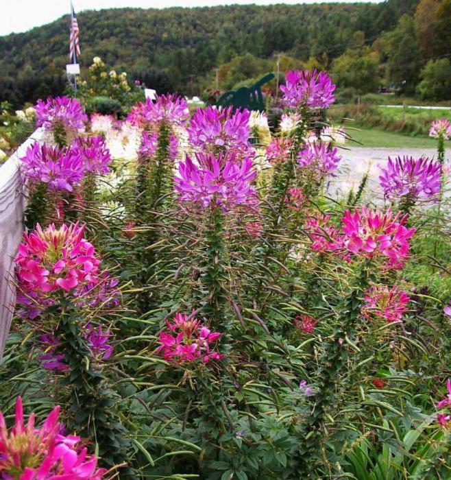 Цветок клеома уход 57