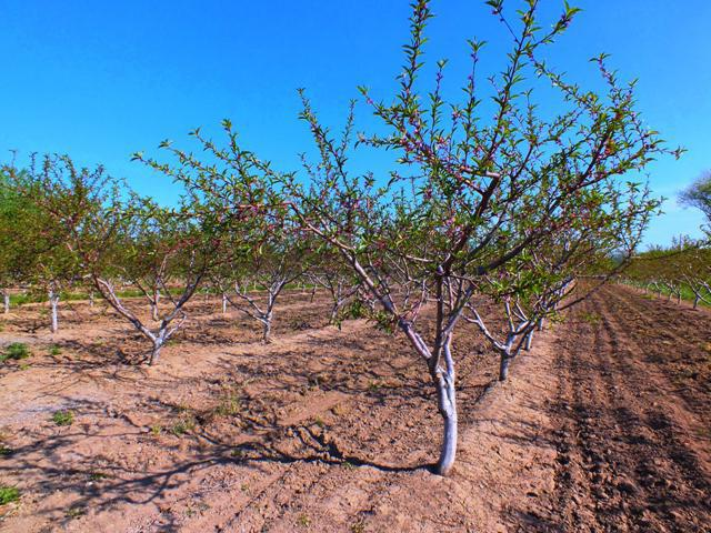 Peach diseases and control