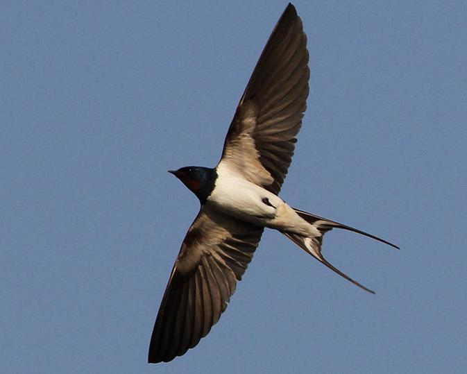 how to distinguish a swift from a swallow