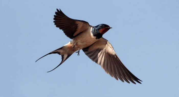 swallow and swift differences
