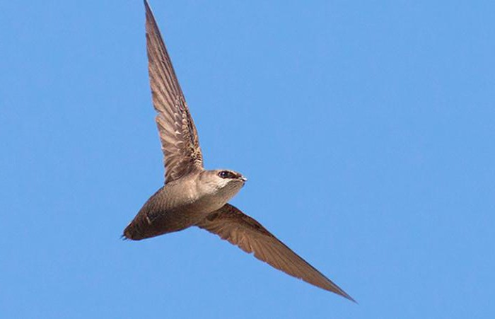 swifts and swallows resemblance