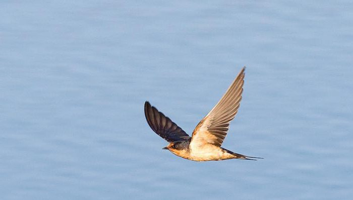 birds swifts and swallows