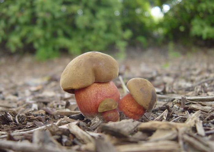 как выглядит гриб поддубник