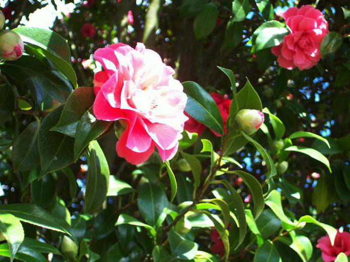 Обрезка гибискуса необходима для роста и цветения