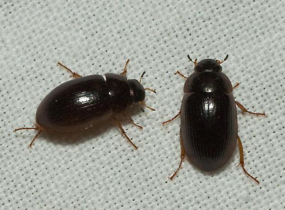 древесный жук в квартире фото