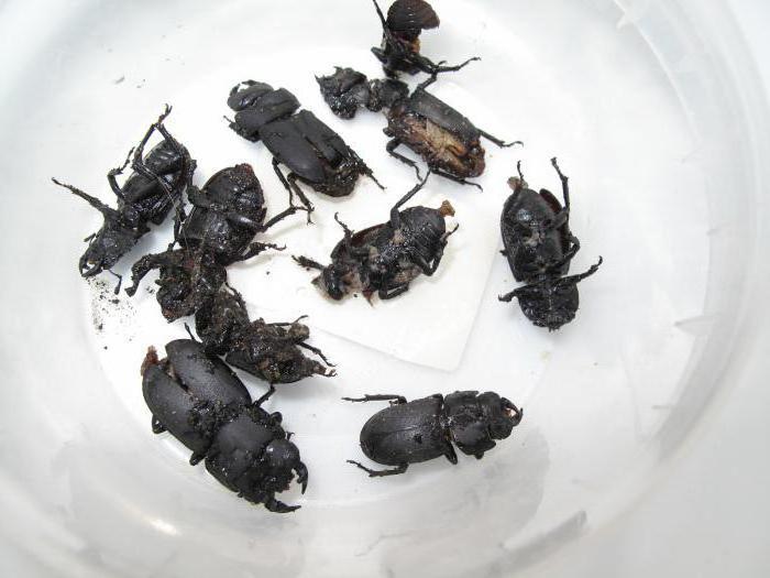 Черный жук в доме