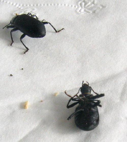маленькие черные жучки в квартире фото и названия