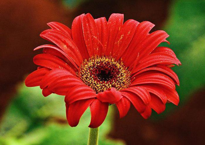 крупные садовые цветы